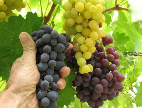 3 Jenis Buah Anggur dan Manfaatnya